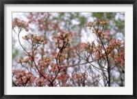 Framed Pink Dogwood
