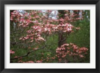 Framed Pink Dogwood Blooms