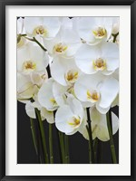 Framed White Orchid Blooms 1