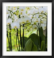 Framed White Orchid Blooms 2