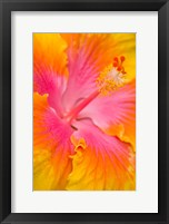 Framed Pink And Yellow Hibiscus Flower,  San Francisco, CA