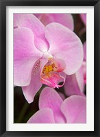 Framed Pink Orchid In The Phalaenopsis Family, San Francisco
