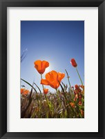 Framed Poppies With Sun And Blue Sky, Antelope Valley, CA