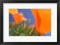 Framed Poppies Spring Bloom 1. Lancaster, CA