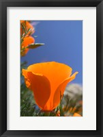 Framed Poppies Spring Bloom 2. Lancaster, CA