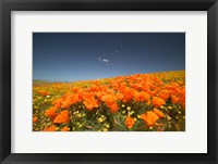 Framed Poppies Spring Bloom 3. Lancaster, CA