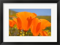 Framed Poppies Spring Bloom 4. Lancaster, CA