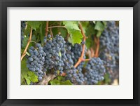 Framed Vineyard Grapes, Calistoga, Napa Valley, Ca