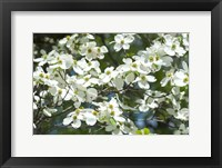 Framed Dogwood Tree, Arnold Arboretum, Boston