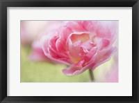 Framed Pink Double Tulip Flower, Pennsylvania