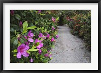 Framed Rhododendron Along Pathway, Magnolia Plantation, Charleston, South Carolina