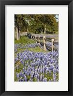 Framed Lone Oak Tree Along Fenceline With Spring Bluebonnets, Texas
