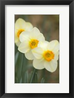 Framed Closeup Of White Daffodils, Arlington, Virginia