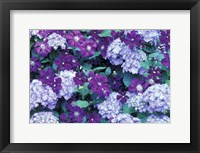 Framed Hydrangea And Clematis, Issaquah, Washington