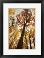 Framed Towering Trees I