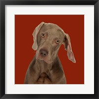 Framed Billy the Weimaraner