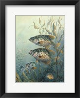 Framed Black Crappies