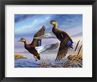 Framed Black Mallards