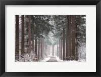 Framed Pines in Winter Dress