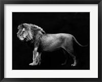 Framed Panthera Leo