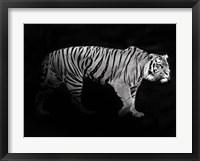 Framed Panthera Tigris