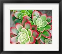 Framed Succulent III