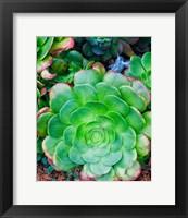 Framed Succulent IV