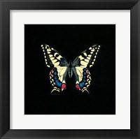 Framed Butterfly on Black