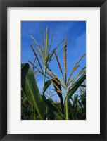 Framed Corn Stalks