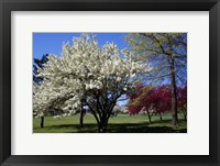 Framed Pin Cherry Tree Blooming, New York
