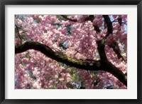 Framed Cherry Blossom Tree In Bloom In Springtime, Tokyo, Japan