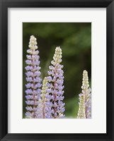 Framed Lupine, Vancouver Island, Canada