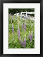 Framed Vancouver Island Lupine, British Columbia, Canada