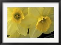Framed Cache Valley Daffodils, Utah
