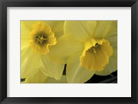 Framed Cache Valley Daffodils, Utah