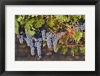 Framed Close Up Of Cabernet Sauvignon Grapes In The Haras De Pirque Vineyard, Chile, South America