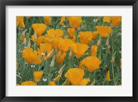 Framed California Poppy, Santa Barbara Botanical Garden, California