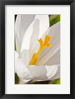 Framed White Crocus In A Garden In Portsmouth, New Hampshire