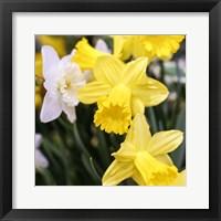 Framed Daffodil Bundle, New York City