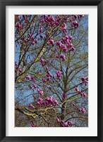 Framed Magnolia Blossoms, Oregon Garden, Silverton, Oregon
