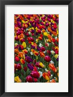 Framed Wind Blows A Field Of Multi-Colored Tulips, Mount Vernon, Washington State