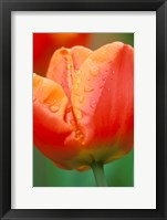 Framed Tulip Detail, Skagit Co, Wa