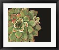 Framed Succulent Elegans II