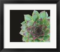 Framed Succulent Elegans III