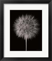 Framed Dandelion Fluff on Black