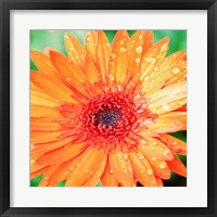 Framed Mixed Gerbera I