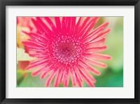 Framed Pink Gerbera