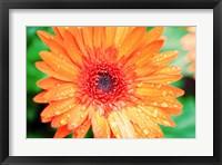Framed Orange Gerbera