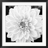 Framed Black & White Gerbera I