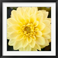 Framed Bright Yellow Gerbera